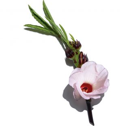 Multi-Intensive Crème Rose Lumière Clarins